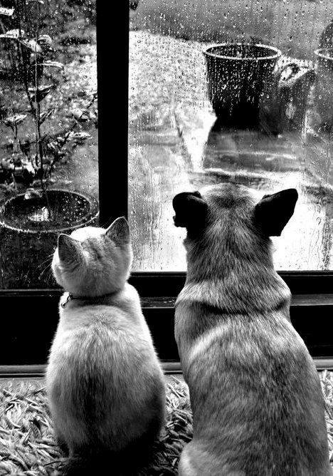 Cat and dog looking out window at rain